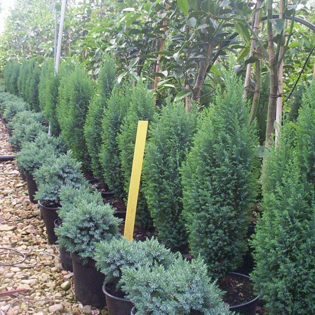 Achat Juniperus Blue star