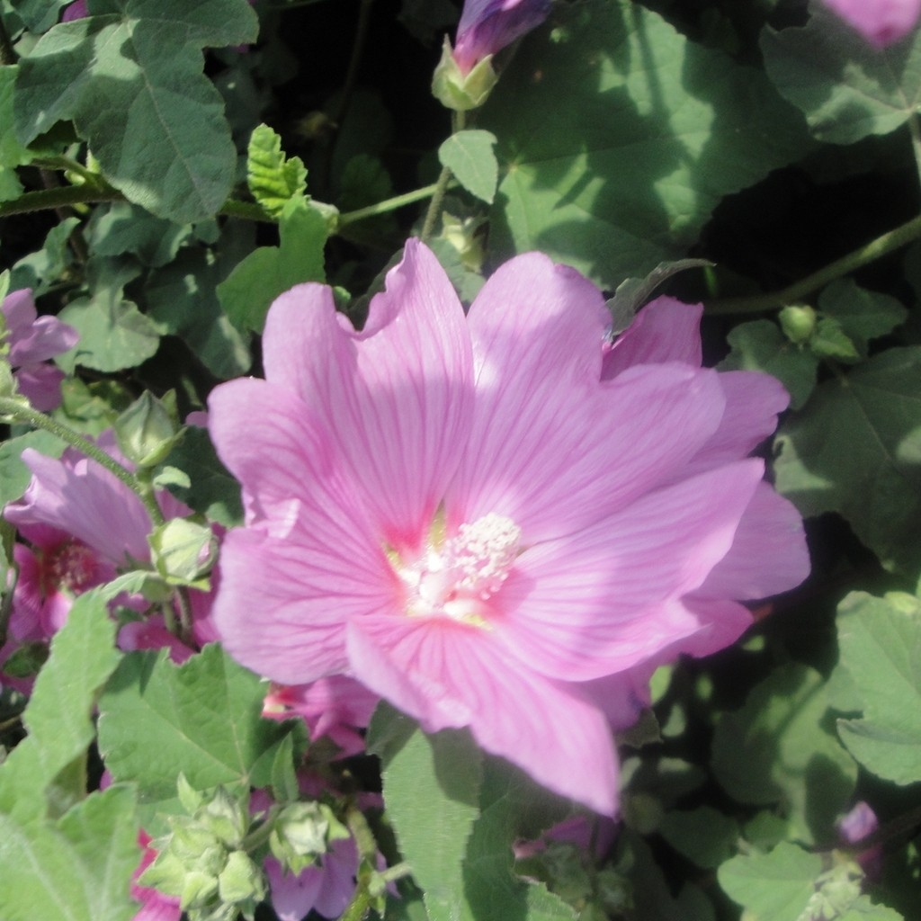 Achat Lavatère rose
