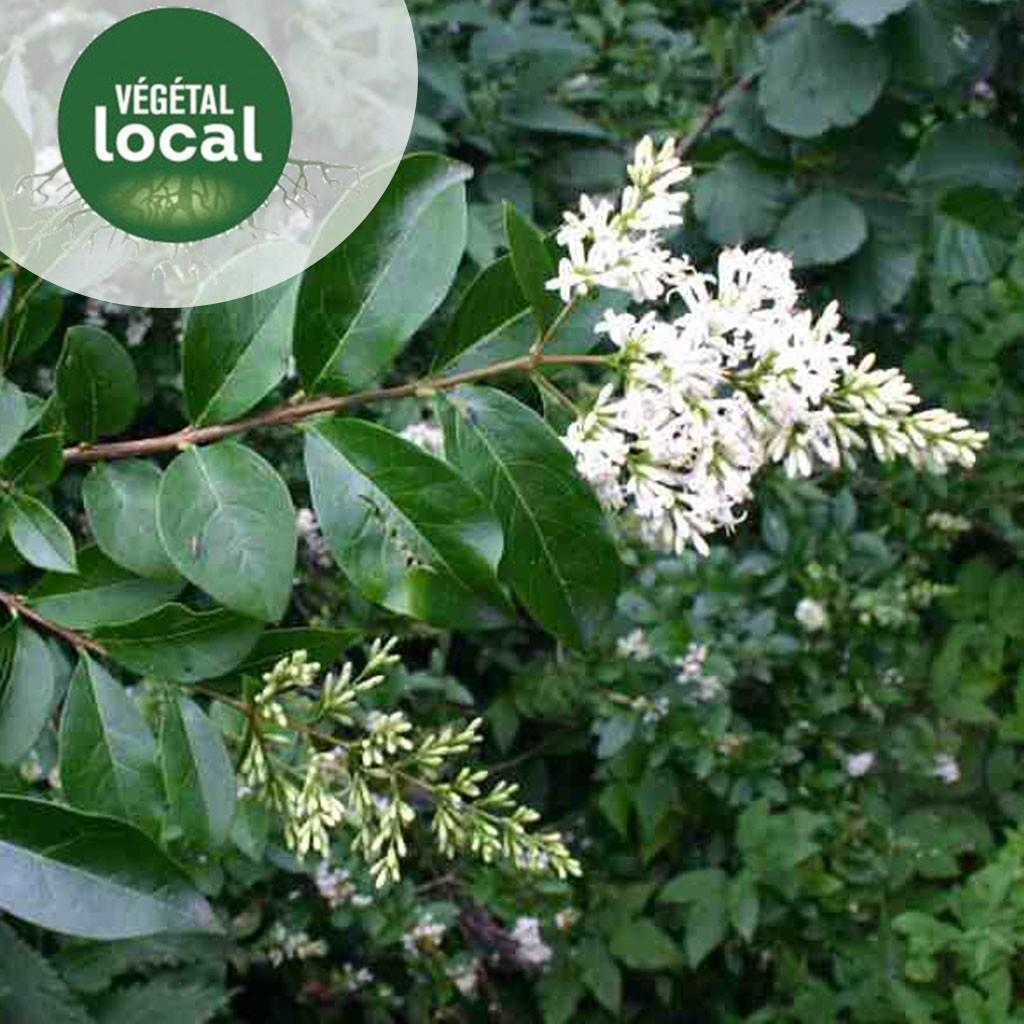 Achat Ligustrum-vulgare-1
