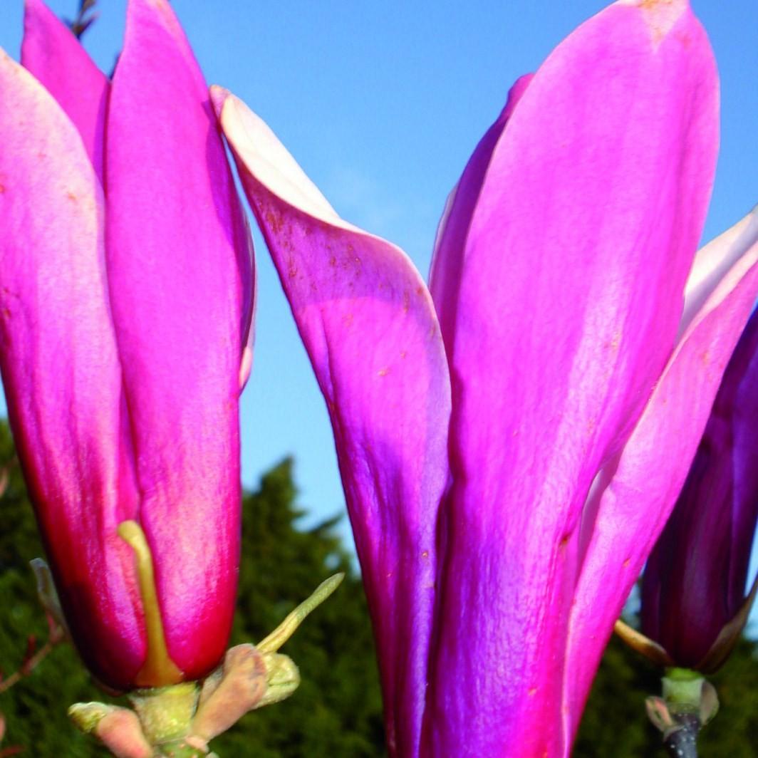Achat Magnolia