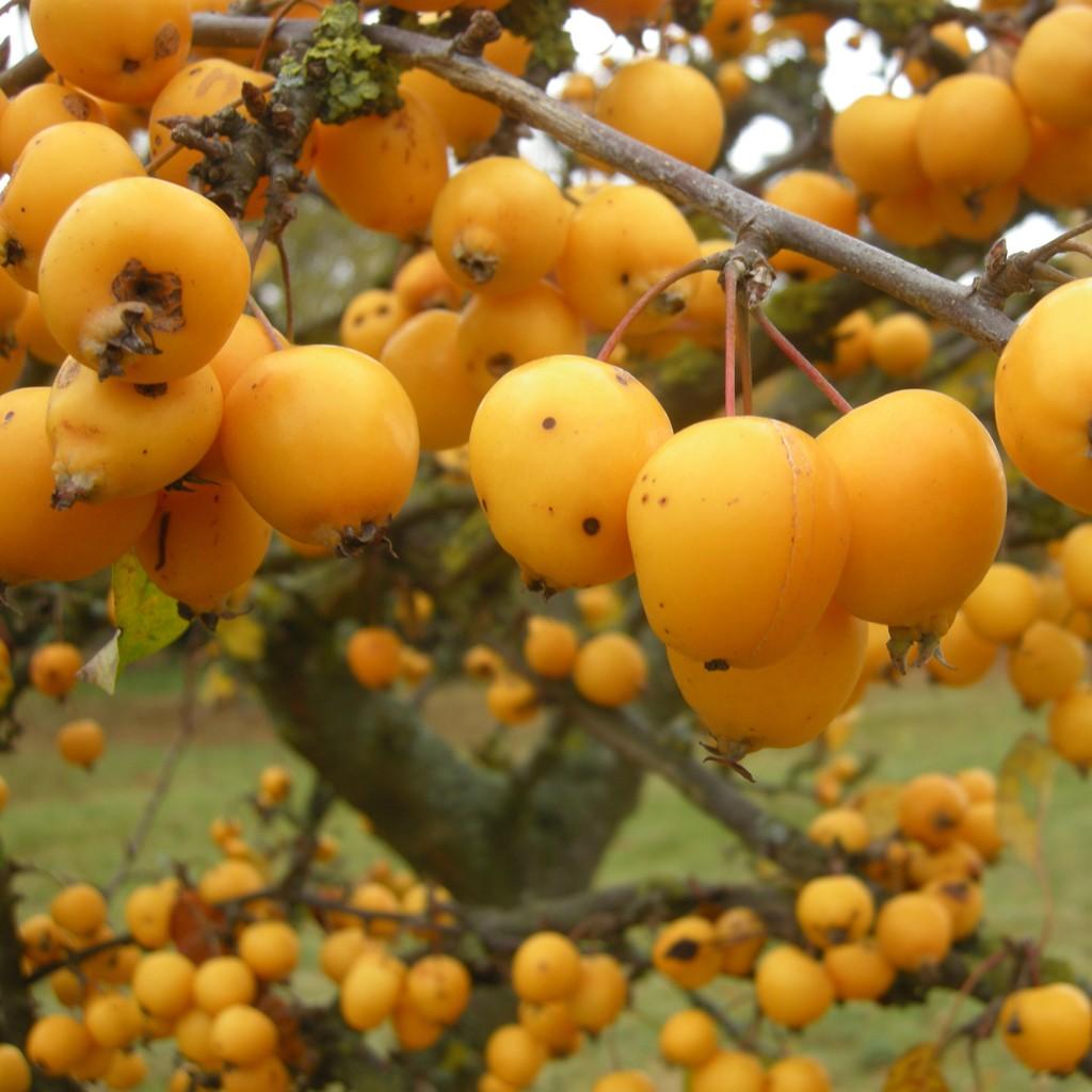 Achat Pommier d'ornement à fruit jaune