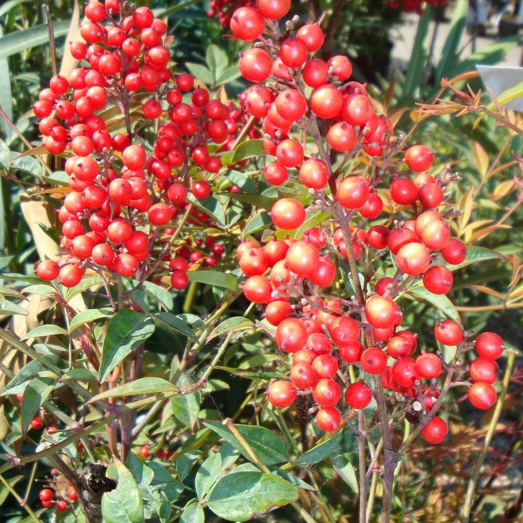 Arbuste Fleuri Feuillage Persistant 100+ [ les buissons fleuris ] | kit de haies plantes et