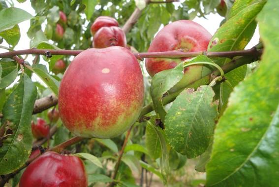 Achat NECTARINE - Prunus persica var. nucipersica 'Nectarose'