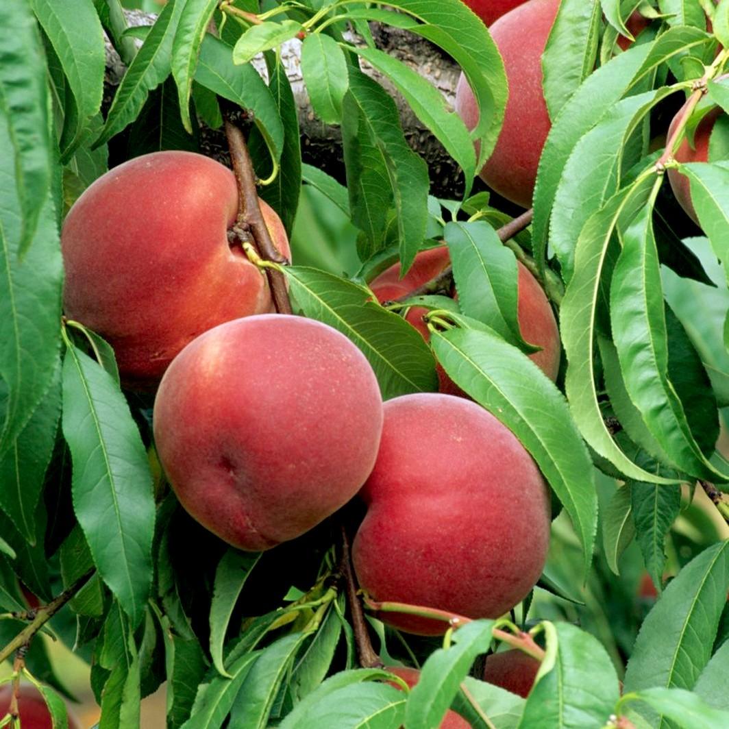 Achat PECHER - Prunus persica 'Reine des vergers'