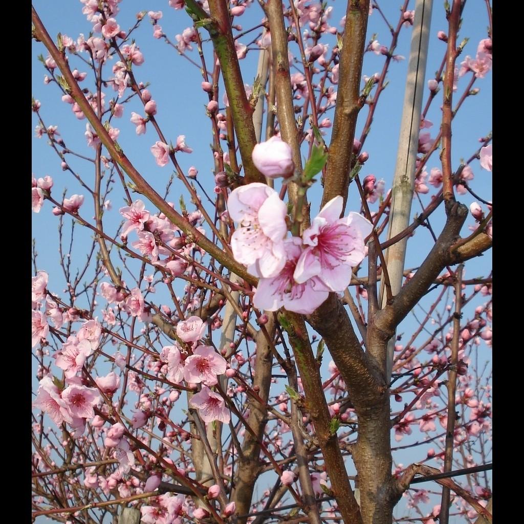 Achat PECHER - Prunus persica 'Fayette'