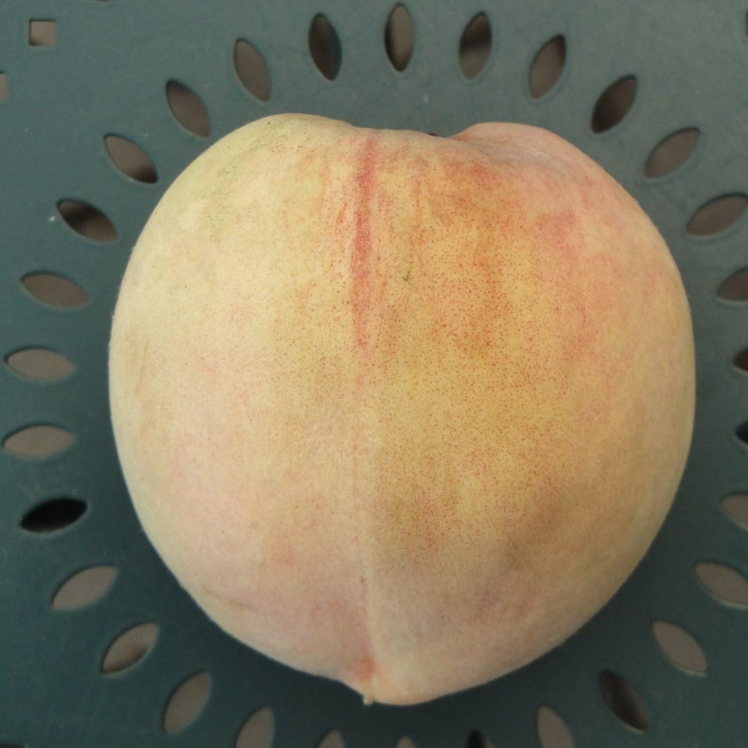 Achat PECHER - Prunus persica 'Teton de venus'