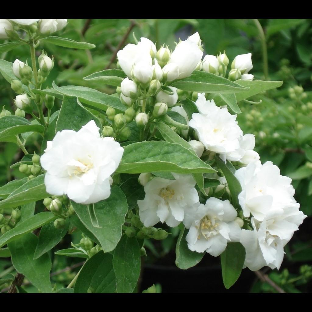 Achat Seringat 'Bouquet Blanc'