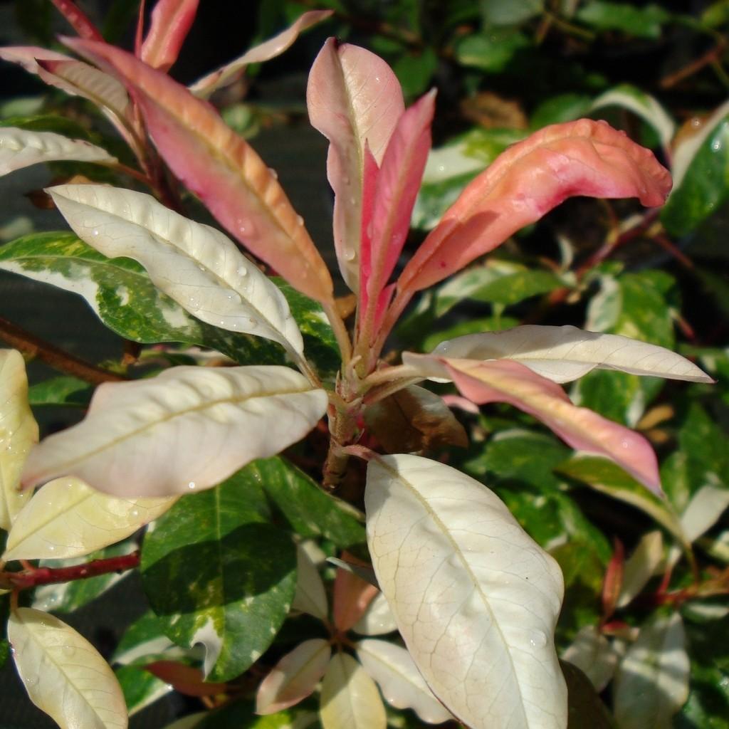 Achat Photinia panaché
