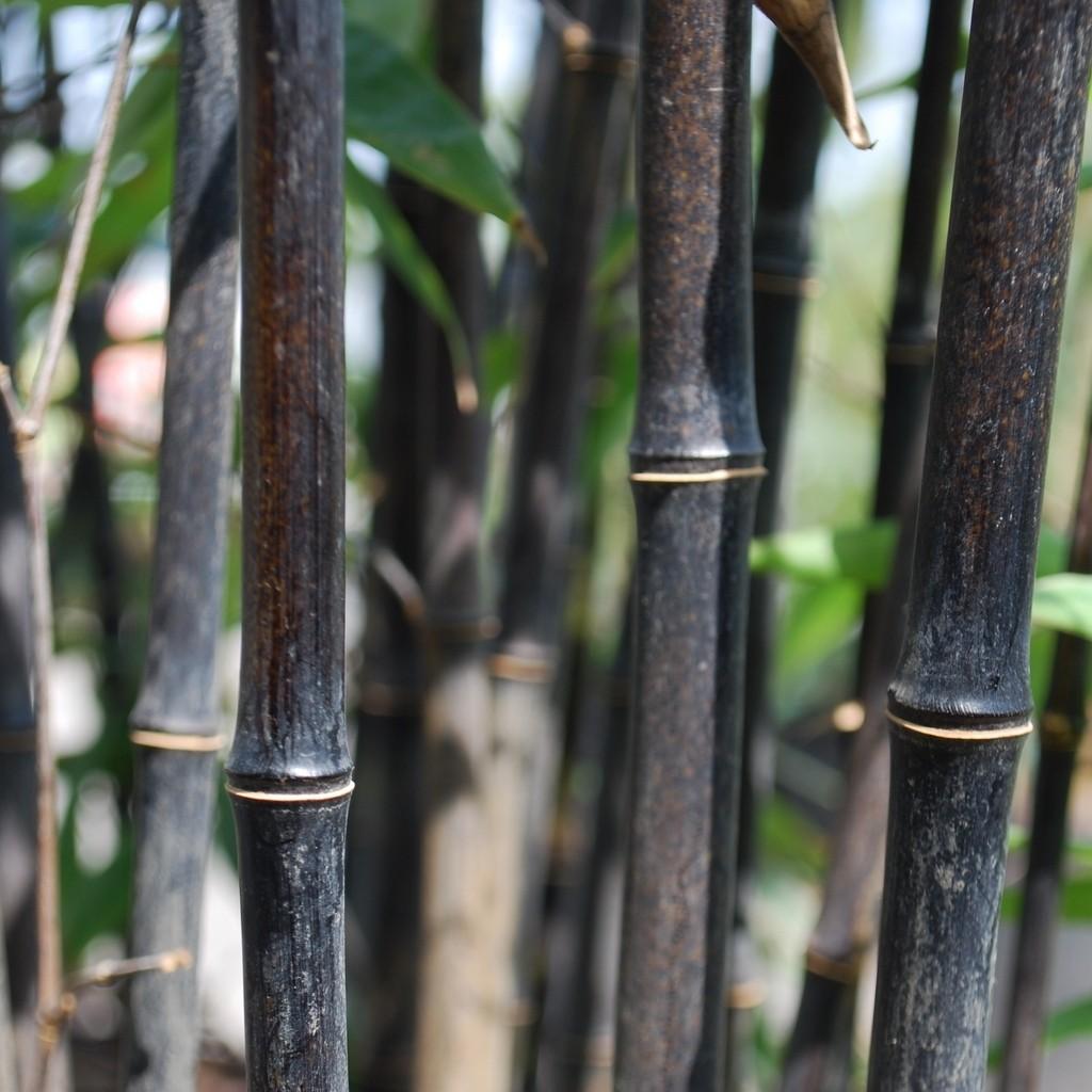 Achat Bambou noir