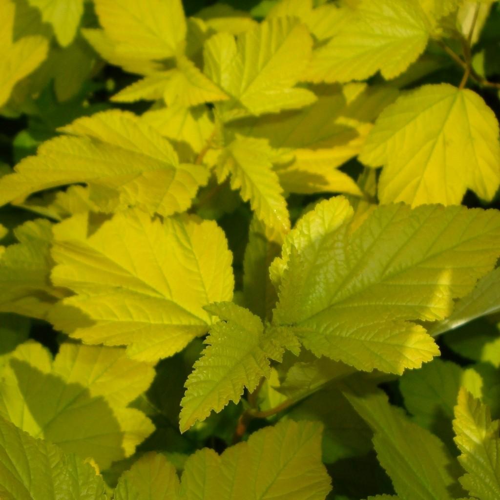 Achat Physocarpus 'Dart's gold'