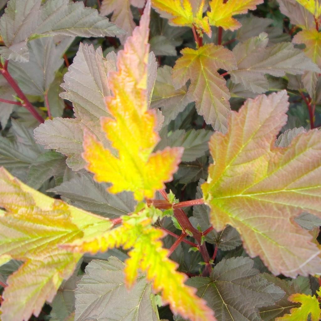 Achat Physocarpus Diable d'or