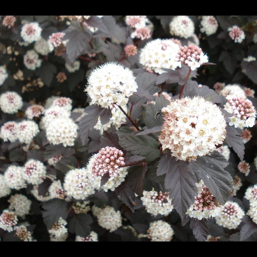 Achat Physocarpus 'Diabolo'