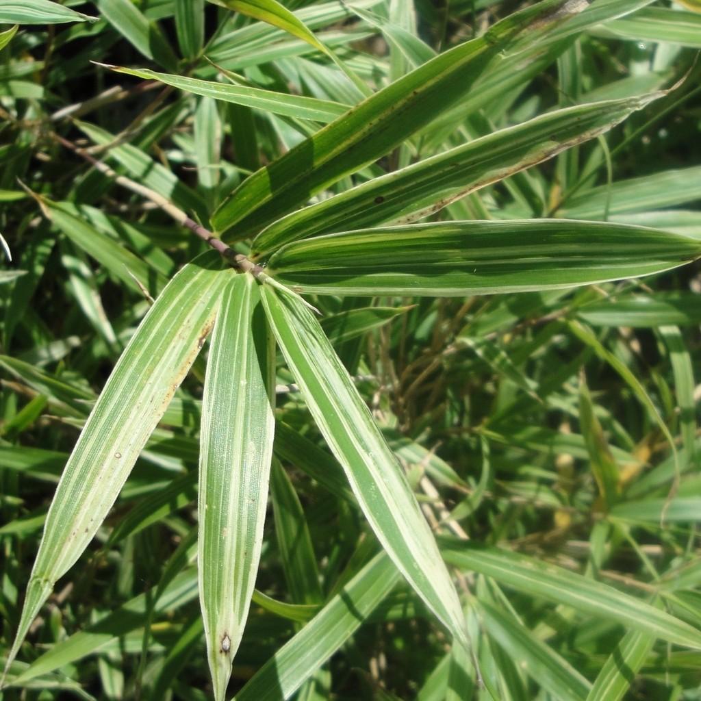 Achat Bambou nain