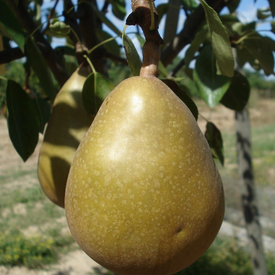 Achat POIRIER - Pyrus communis 'Grand champion'