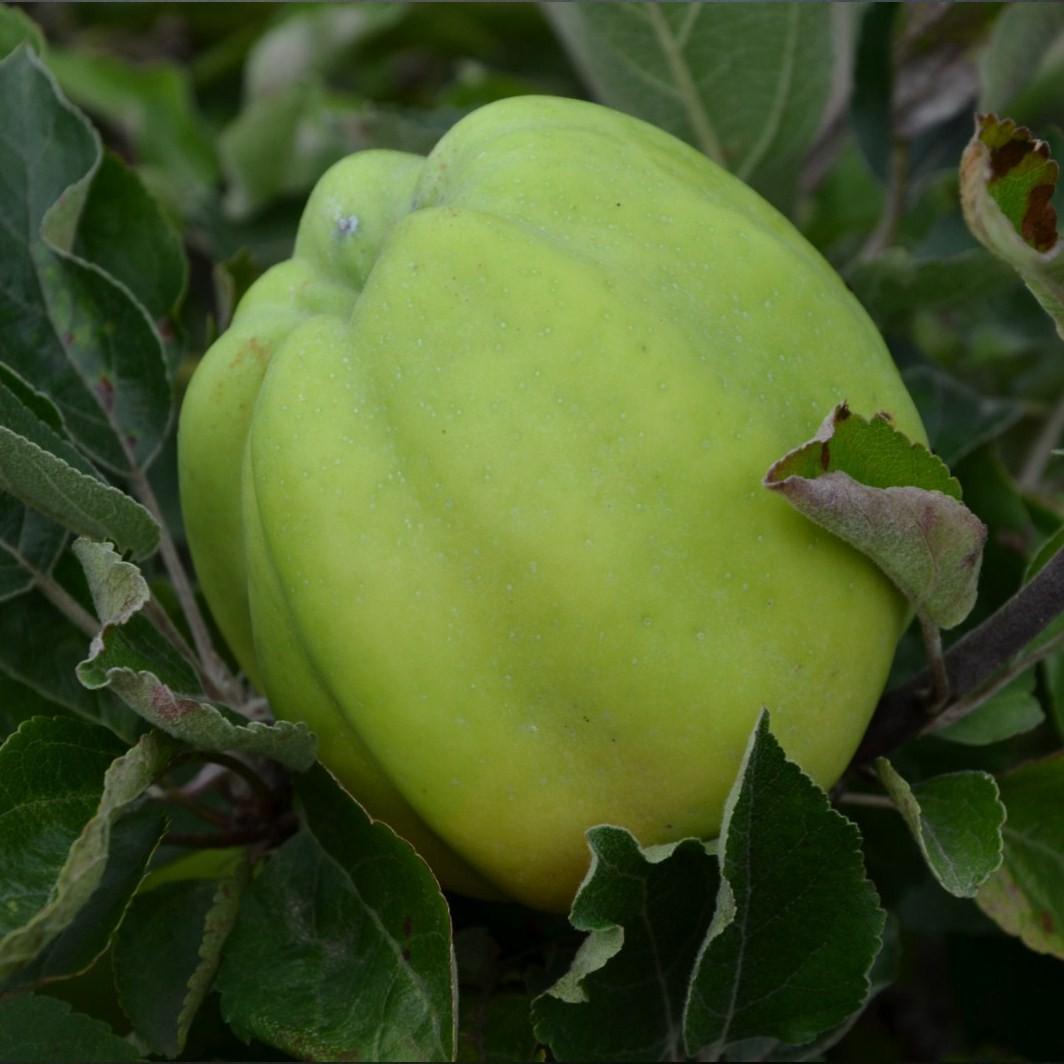Achat POMMIER - Malus communis 'Belle fleur jaune'