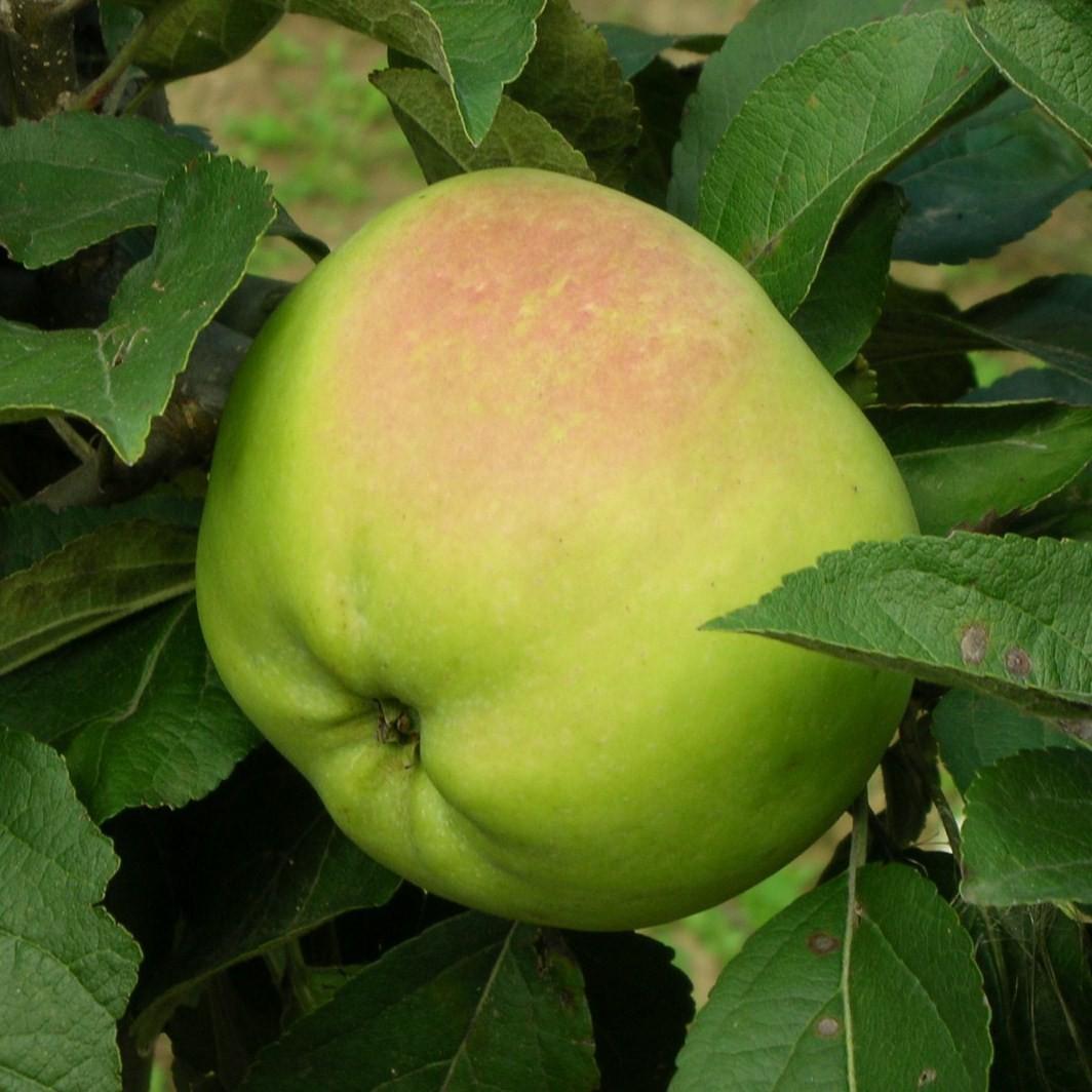 Achat POMMIER - Malus communis 'Calville blanc'