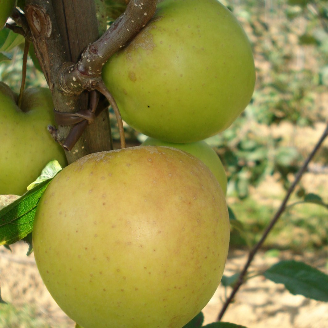 Achat POMMIER - Malus communis 'Golden delicious'