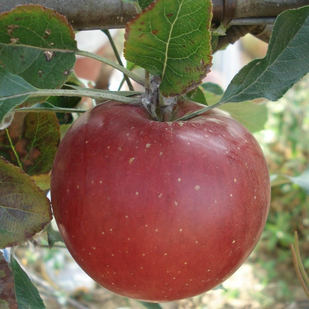Achat POMMIER - Malus communis 'Melrose'