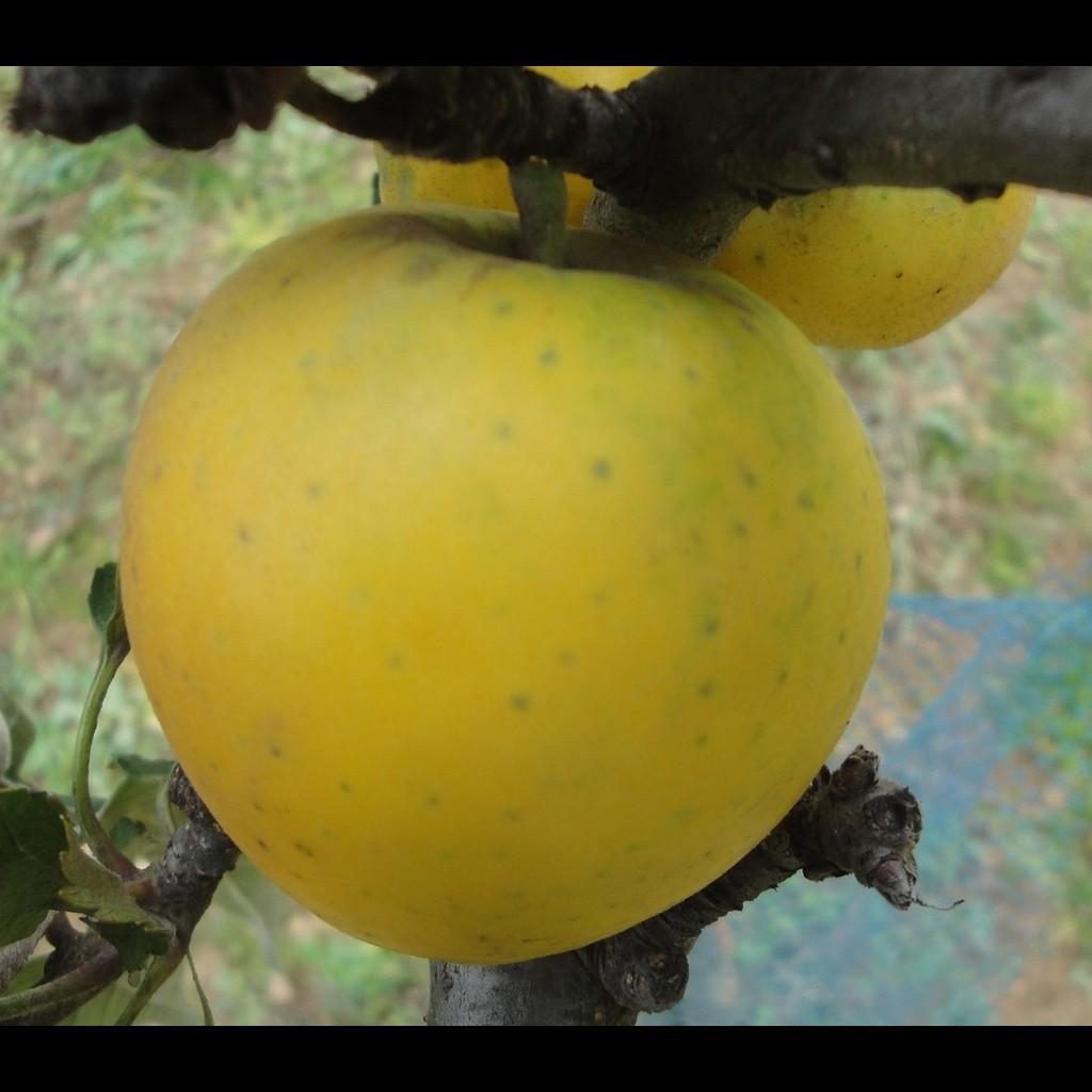 Achat POMMIER - Malus communis 'Reinette Ananas'