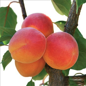 Achat ABRICOTIER - Prunus armeniaca 'Précoce de Montplaisir'
