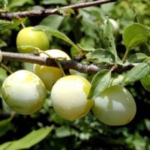 Achat PRUNIER - Prunus domestica 'Reine Claude de Moissac'