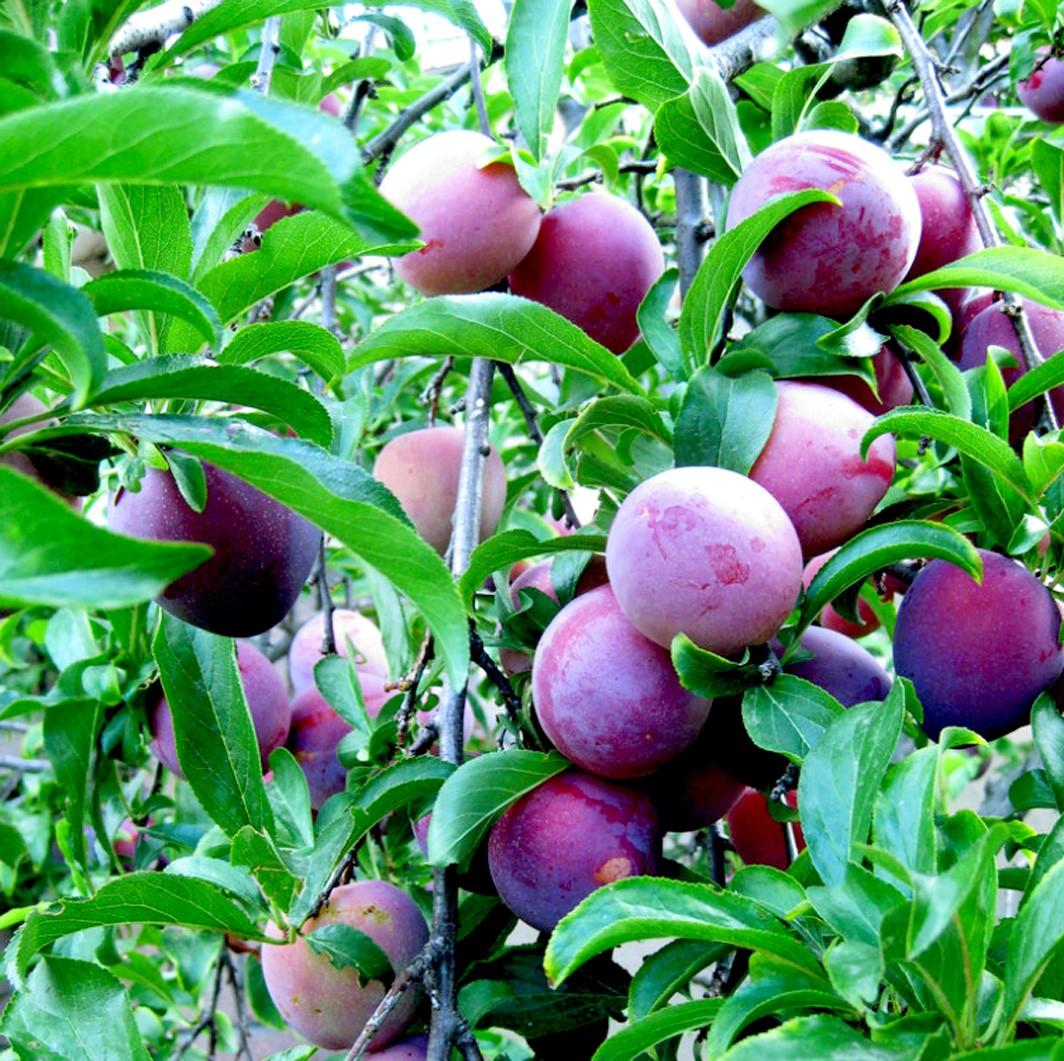 Achat PRUNIER - Prunus domestica 'Damas de septembre'