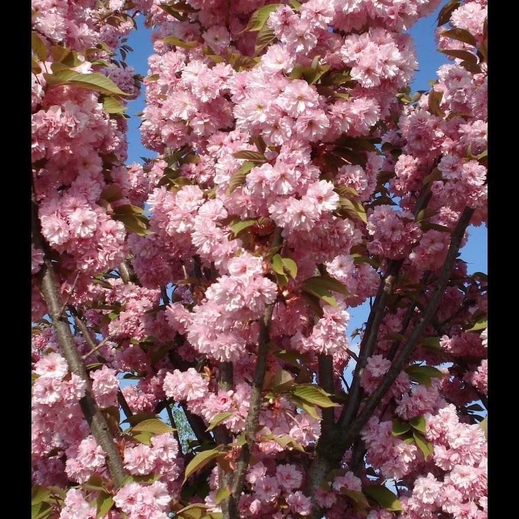 Achat Cerisier à fleurs 'Kanzan'
