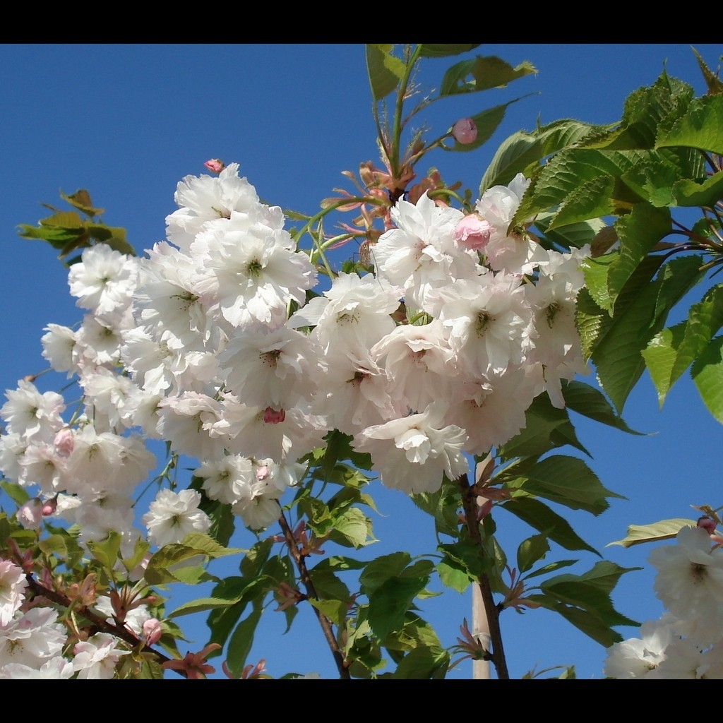 Achat Cerisier à fleurs 'Shirotae'
