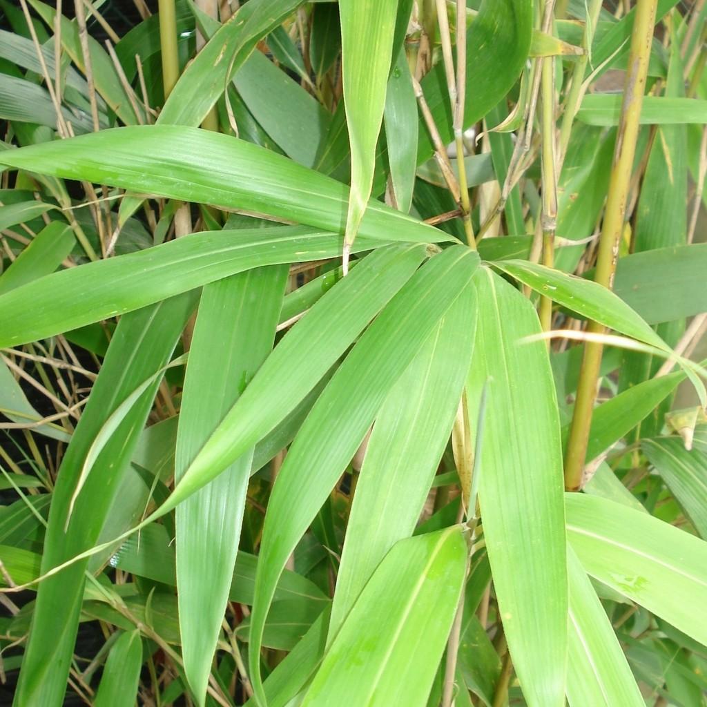 Achat Bambou japonais