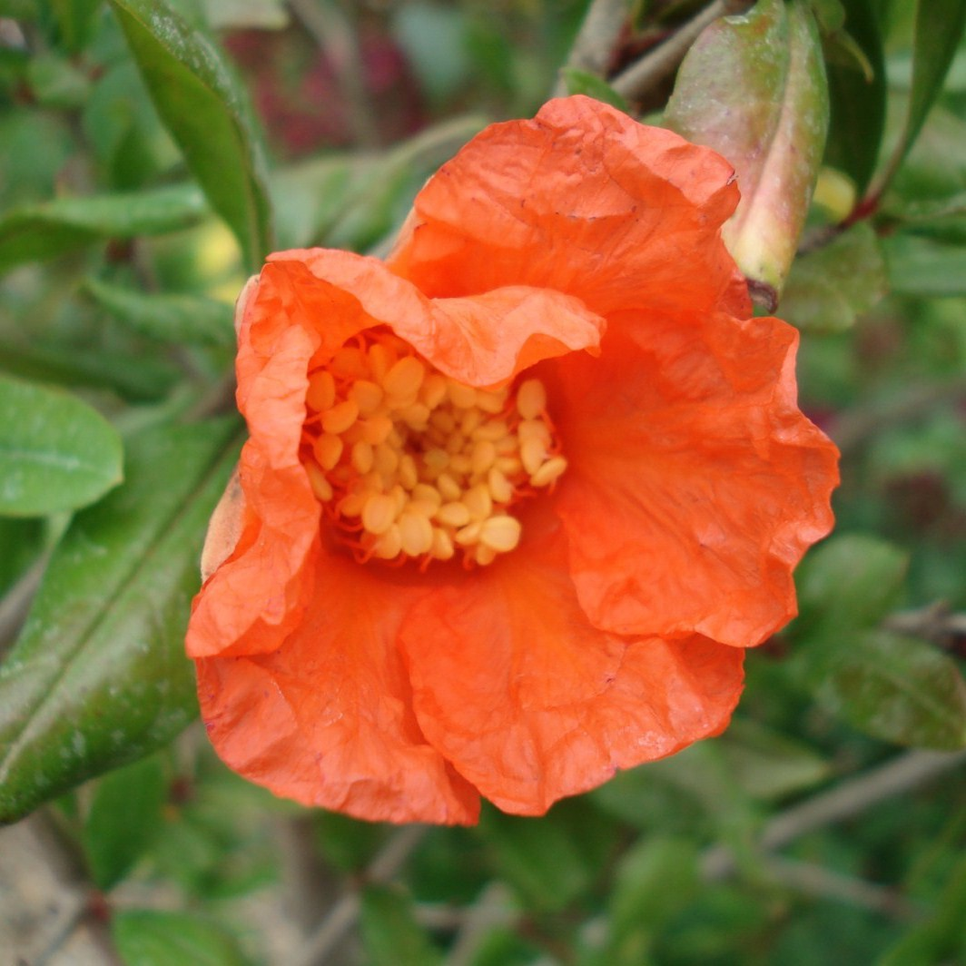 Achat Grenadier à fleurs