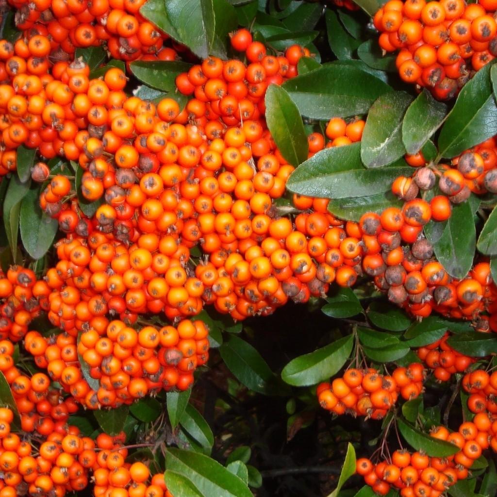 Achat Pyracantha orange