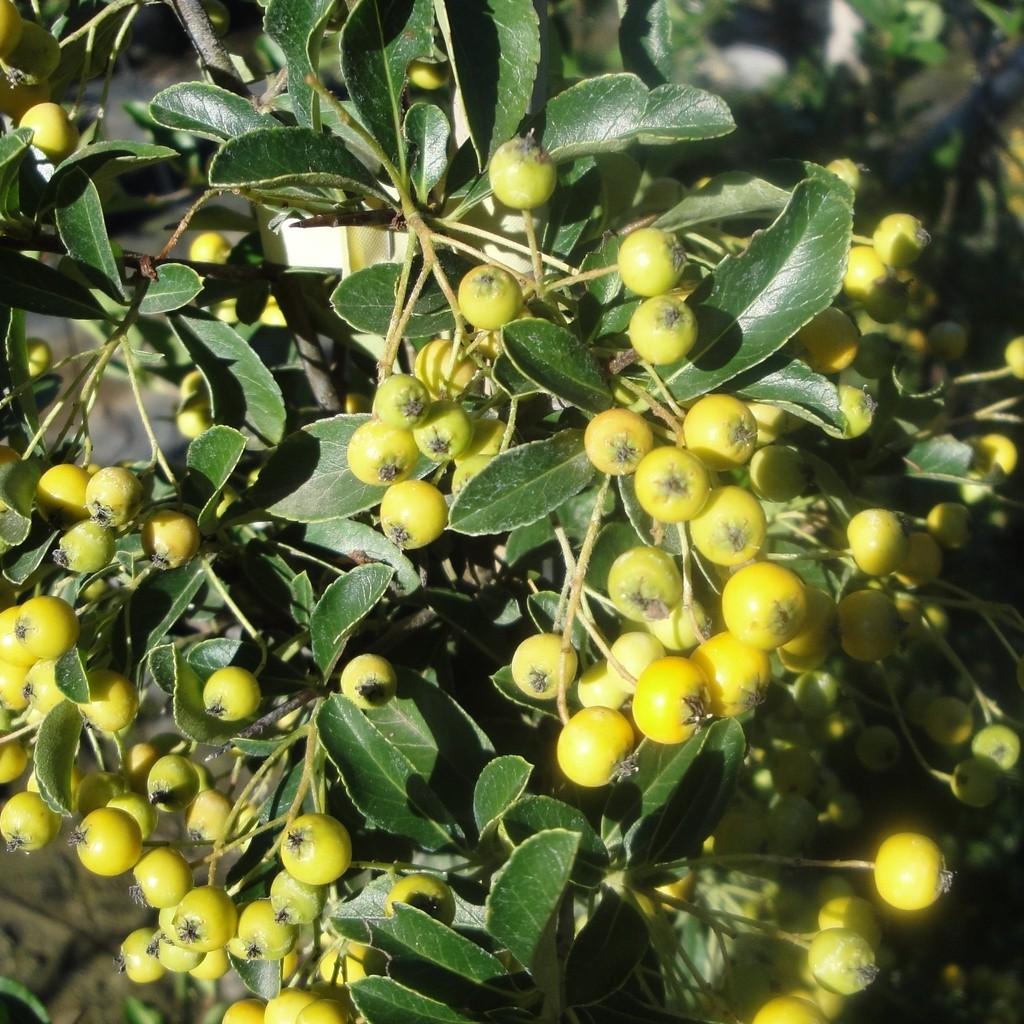 Achat Pyracantha jaune
