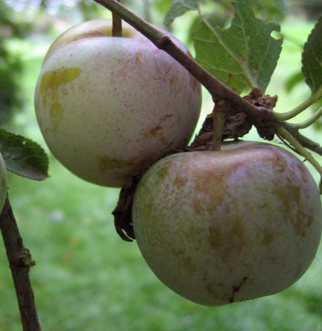 Achat PRUNIER - Prunus domestica 'Reine Claude Bavay'