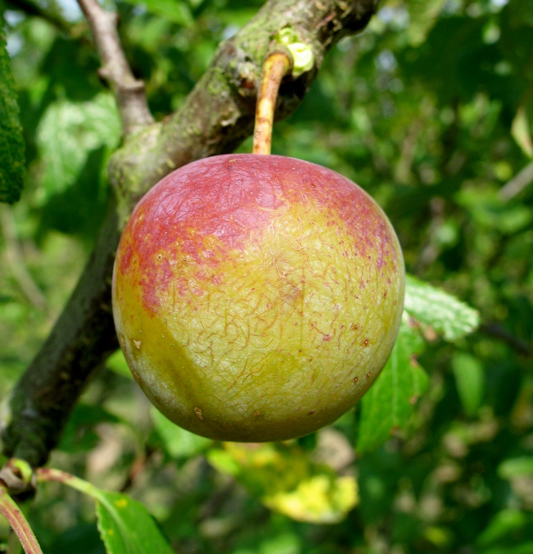 Achat PRUNIER - Prunus domestica 'Reine Claude dorée'