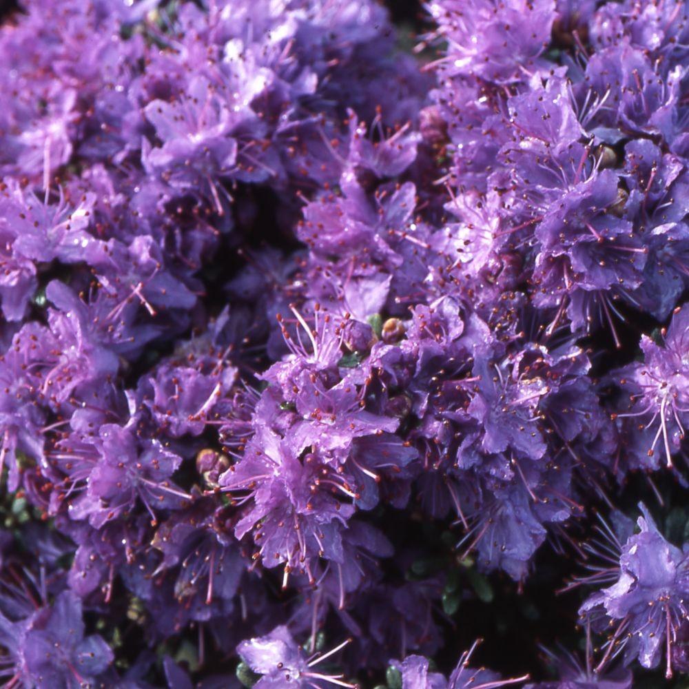 Arbuste Nain Persistant Plein Soleil rhododendron nain violet