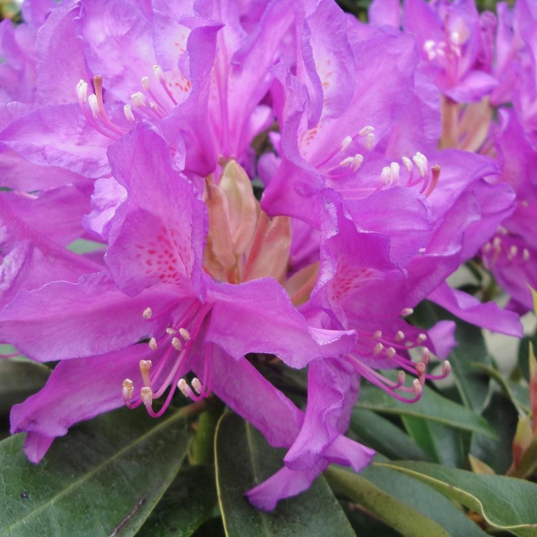 Achat Rhododendron à grande végétation