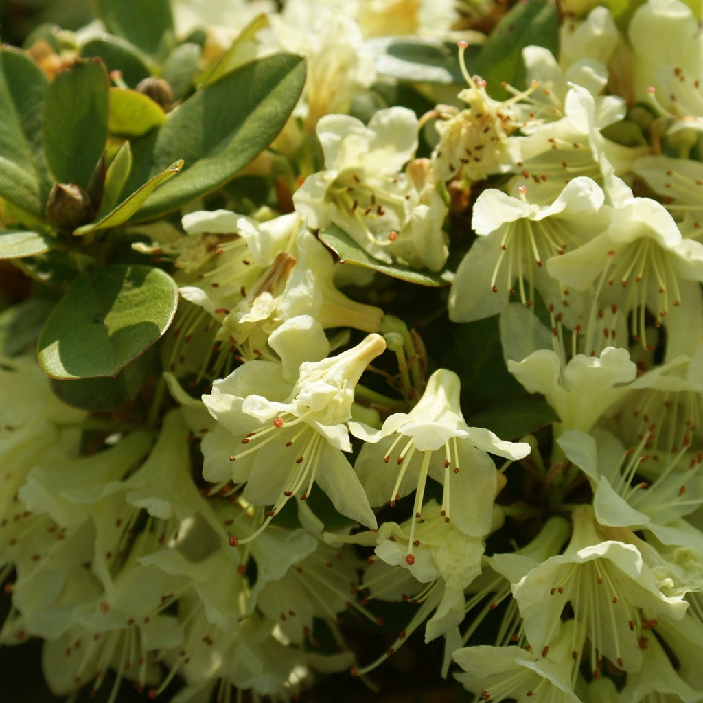 Achat rhododendron nain jaune
