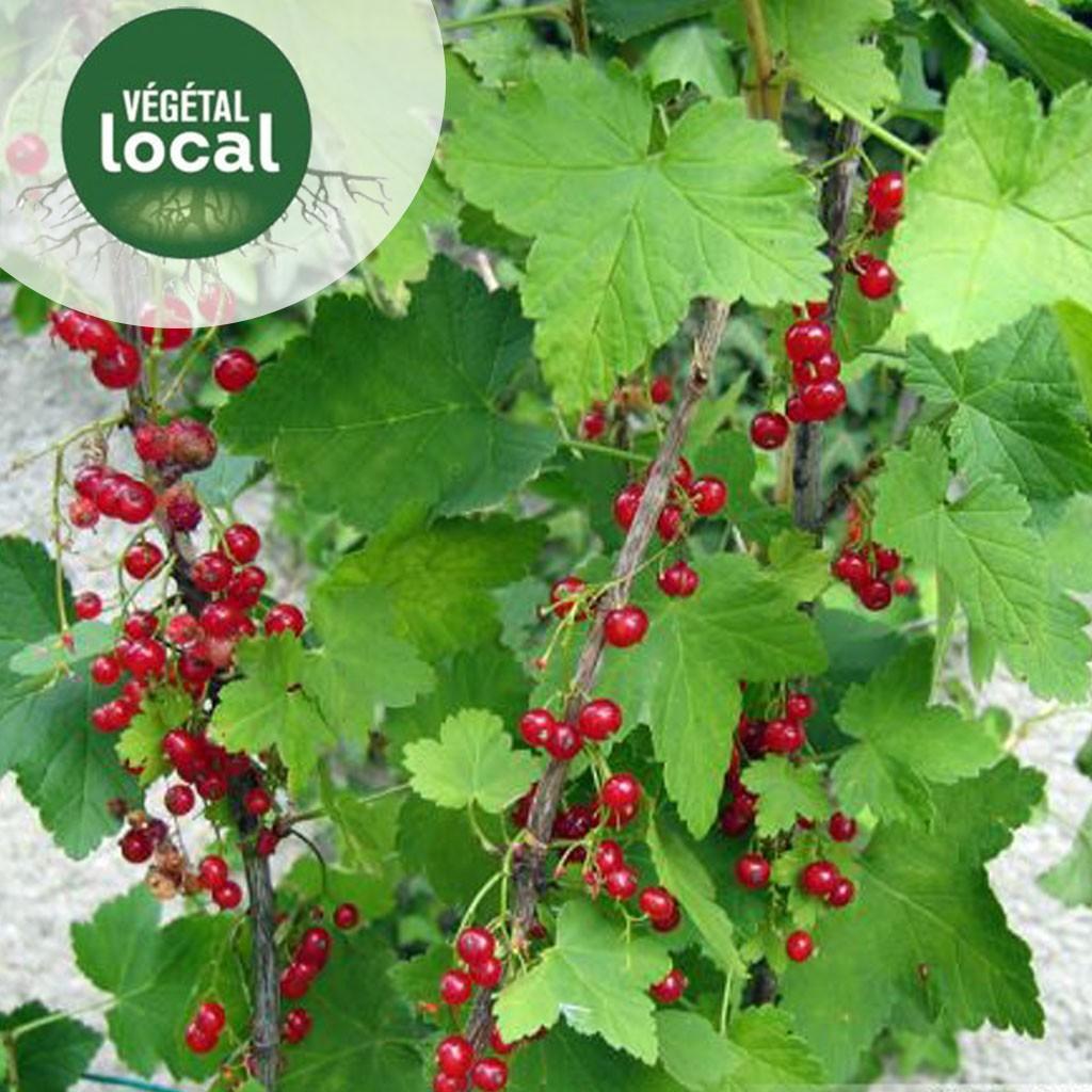 Achat Ribes-rubrum