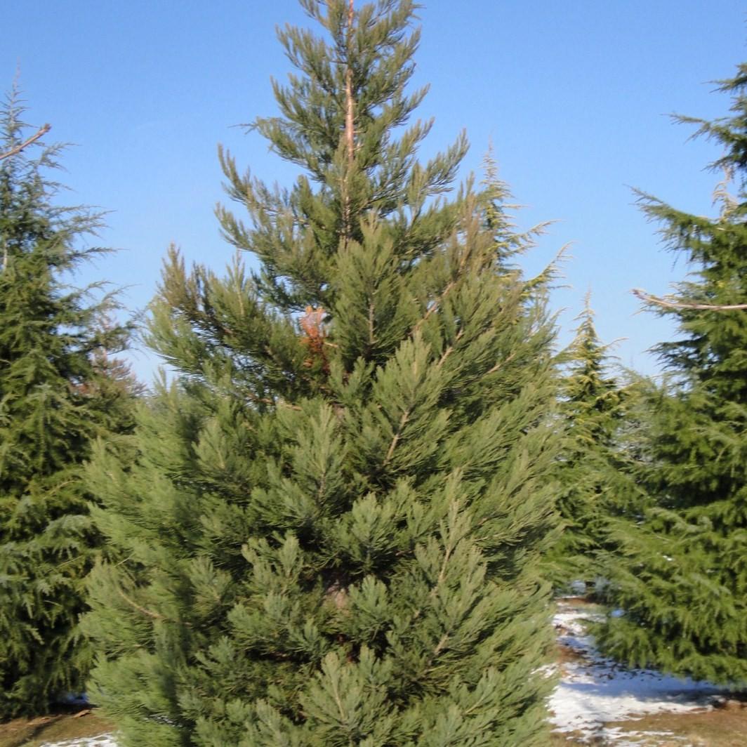 Achat Sequoia géant