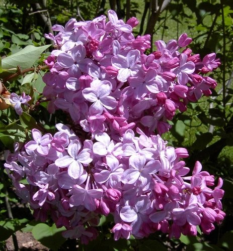 Achat Lilas rose 'Ester Statley'