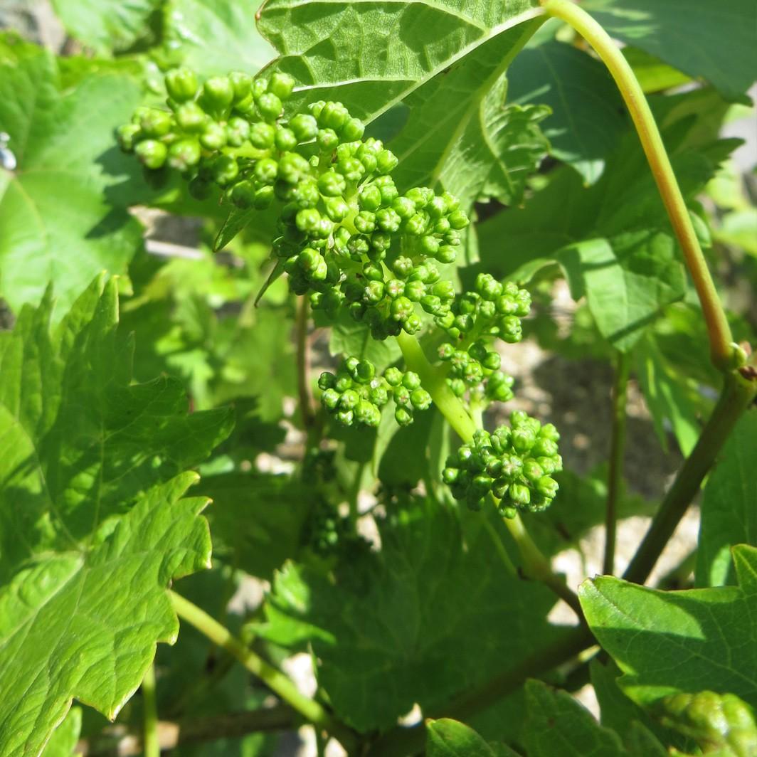 Achat Vigne noire