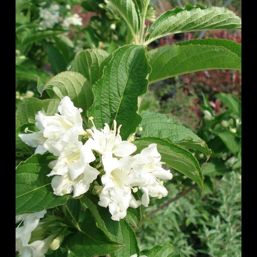 Achat Weigélia blanc 'Candida'