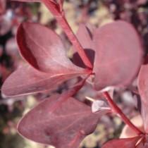 Berberis Auricauma