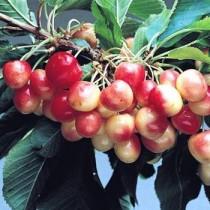 CERISIER - Prunus avium - bigarreau 'Rainier'