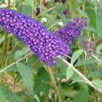 Arbre aux papillons