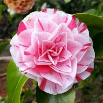 Camelia rose strié de rouge