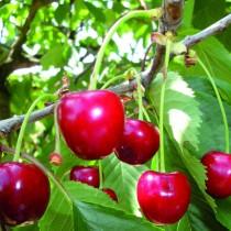 CERISIER - Prunus avium - bigarreau 'Marmotte'