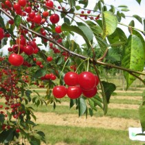 CERISIER - Prunus cerasus - griotte 'Montmorency'