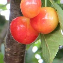 CERISIER - Prunus avium - bigarreau 'Van'