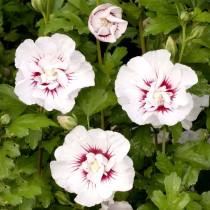 Althea à fleurs doubles blanc à cœur rouge
